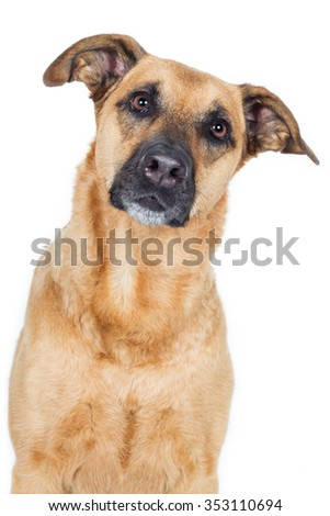 German Shepherd Dog Mix dog head looks carefully diagonally in the camera