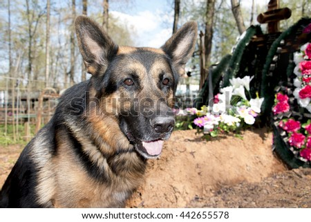 German shepherd dog near the grave of the owner - stock photo