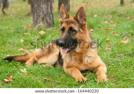 German Shepherd dog on the forest - stock photo
