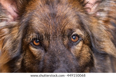 German Shepherd Dog or Alsatian dogs eyes looking at the camera, he is sable colored.