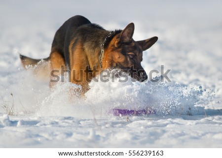 German shepherd dog play in snow