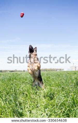 German Shepherd dog playing in tall grass - stock photo