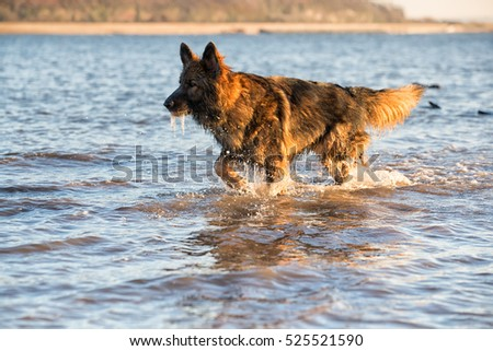 German Shepherd Dog playing in the sea during his daily dog walk