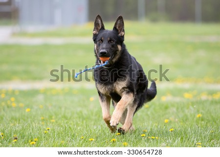 German Shepherd dog playing with a ball - stock photo