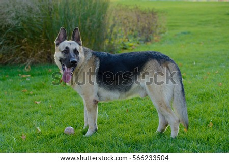 German shepherd dog playing with a ball on the grass on the lawn in the park