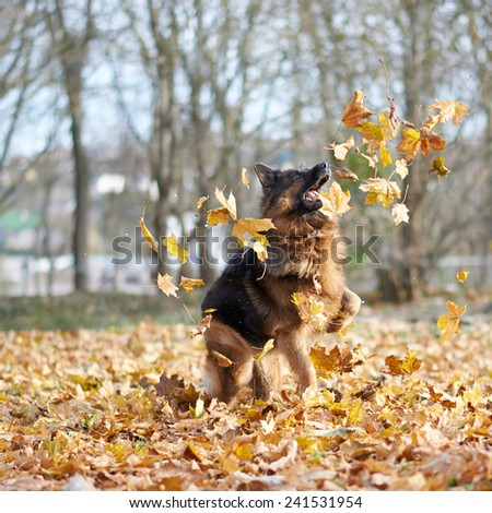 German shepherd dog playing with the yellow maple leaves as an autumn background composition