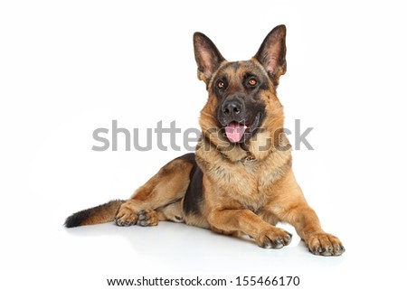 German Shepherd dog posing on a white background