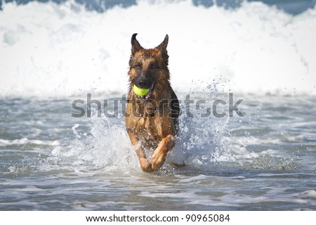 German Shepherd Dog running in the ocean with a yellow tennis ball in his mouth - stock photo