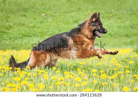 German shepherd dog running on the field with dandelions - stock photo