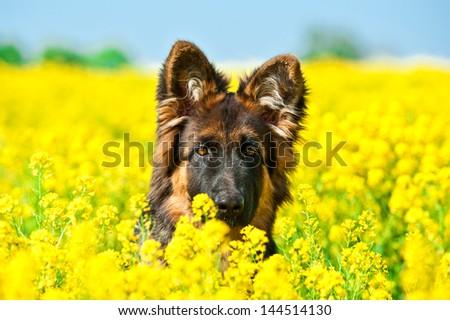 German shepherd dog sitting in yellow flowers - stock photo