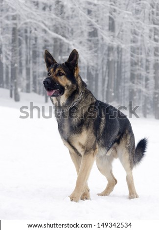 German shepherd dog standing in snow, winter forest in the background.  - stock photo