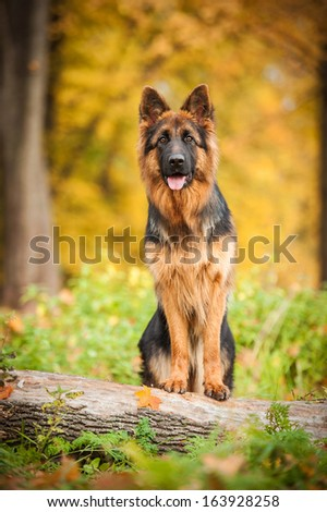 German shepherd dog standing on the tree - stock photo