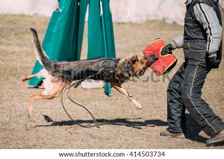 German shepherd dog training. Alsatian Wolf Dog. Deutscher, dog - stock photo