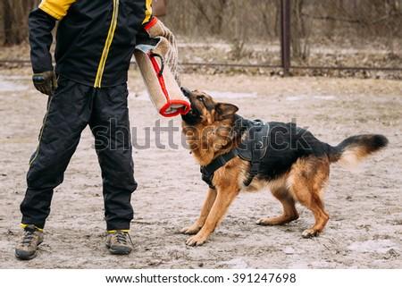 German shepherd dog training. Biting dog. Alsatian Wolf Dog. Deutscher, dog - stock photo