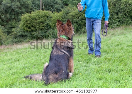 German Shepherd Dog with a collar sat on grass looking at his owner. View from behind the dog.