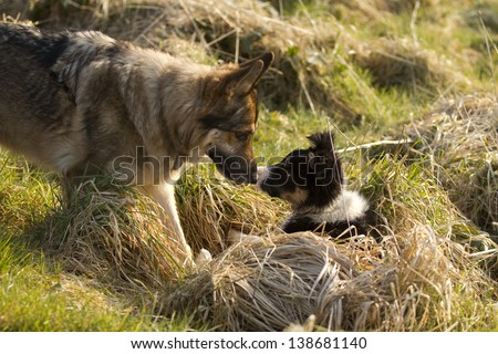 German Shepherd Dog with border collie puppy together in long grass, rubbing noses as friends. - stock photo