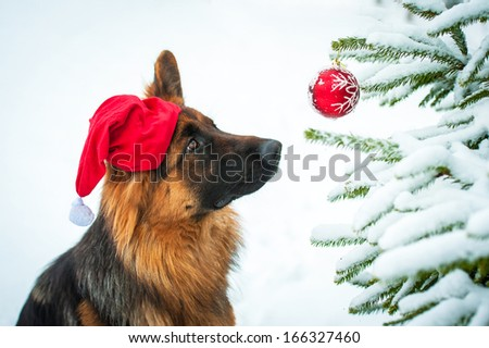 German shepherd dog with christmas hat looking at the ball on the christmas tree - stock photo