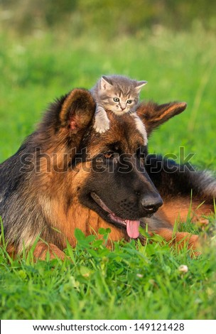 German shepherd dog with little kitten on its head - stock photo