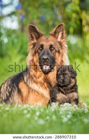 German shepherd dog with little puppy - stock photo