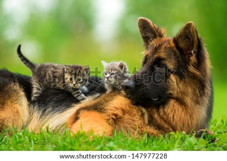 German shepherd dog with two little kittens - stock photo