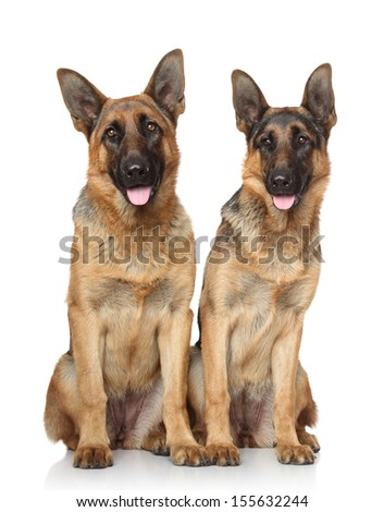 German Shepherd dogs. Portrait on a white background