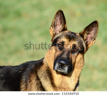 German Shepherd Funny Portrait Stock Photo