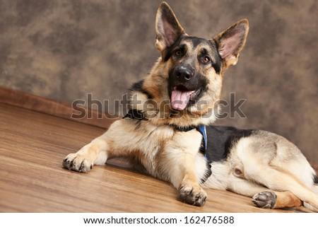 German Shepherd.  Guide dog in training. - stock photo