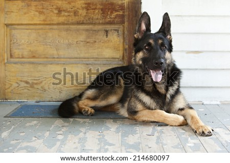 German Shepherd guide dog in training on the lying on the front porch of a home.
