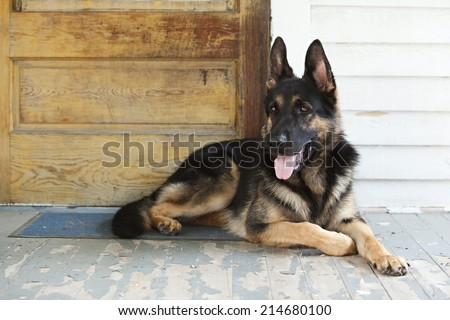German Shepherd guide dog in training on the lying on the front porch of a home. - stock photo
