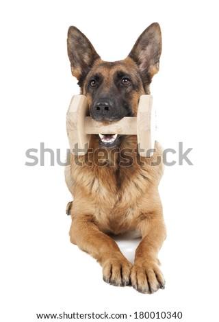 German Shepherd holding dumbbell on white background  - stock photo