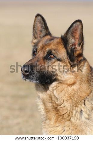 German Shepherd in education - stock photo