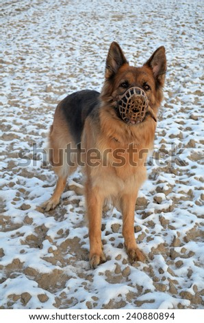 German Shepherd in muzzle