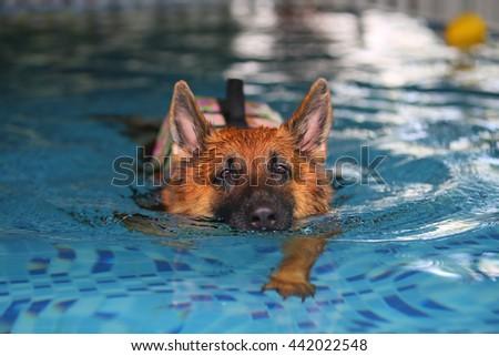 German shepherd in swimming pool, dog swimming, dog playing, guard dog - stock photo