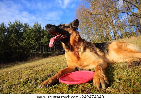 German shepherd in the park / German Shepherd with a toy / tired dog - stock photo