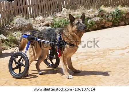German Shepherd in wheelchair - stock photo