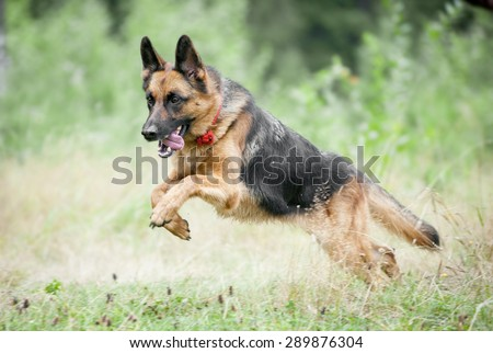 german shepherd jumping and running in late summer meadow - stock photo