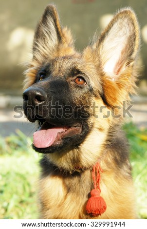 German shepherd junior puppy sitting in a green grass in the yard