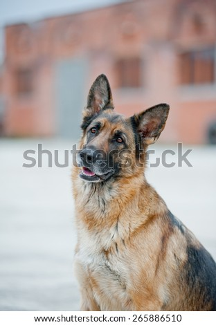 German shepherd looking attentively and curiously at camera - stock photo