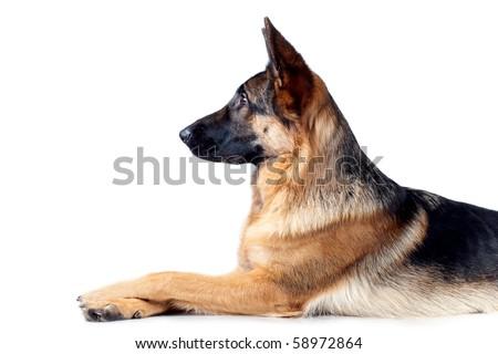 German Shepherd lying in front, isolated on white background, studio shot. - stock photo