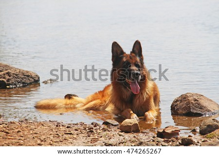 German Shepherd lying on the river