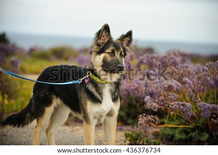 German Shepherd mix puppy standing on leash by a field of purple flowers in front of ocean