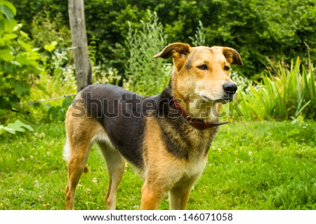 German Shepherd mixed breed dog in garden - stock photo