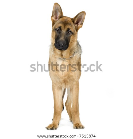 german shepherd (7 months) in front of a white background