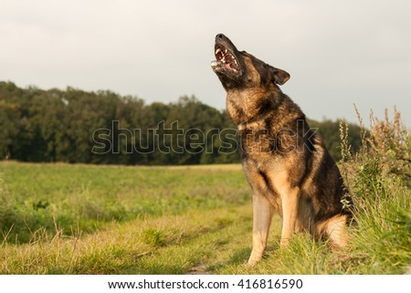 German shepherd, Nero, in nature before the storm, he howls