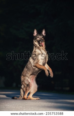 German Shepherd on a dark background - stock photo