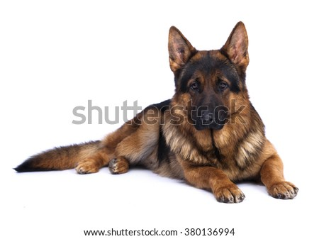 German shepherd on a white background - stock photo