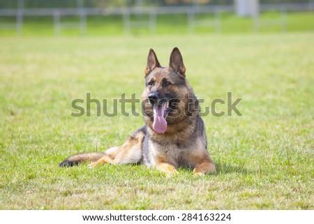 German shepherd on the dog`s playground - stock photo