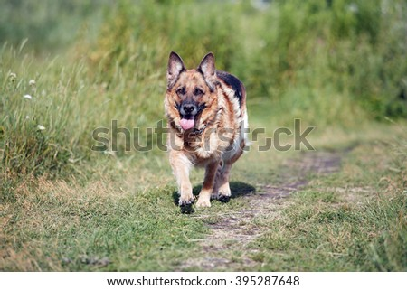 German Shepherd on the nature