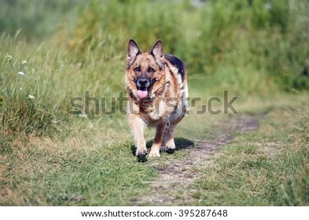 German Shepherd on the nature - stock photo