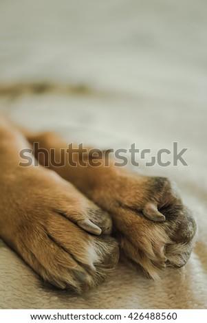german shepherd paws on blanket, copy space - stock photo
